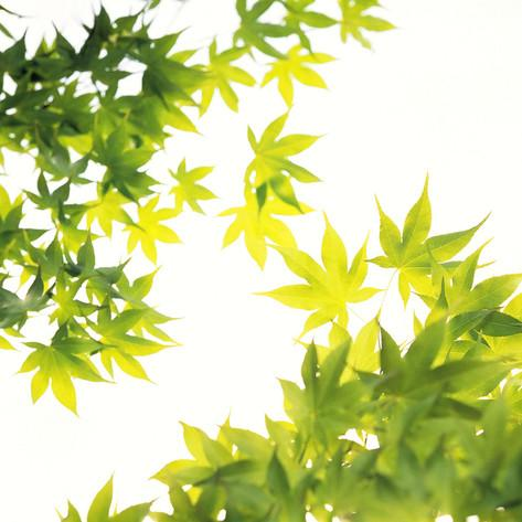 green-light-collection-maple-leaves-against-white-background